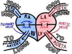 Easy way to remember blood flow through the heart #nurse #nursing #nursingstudent