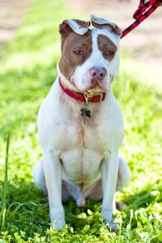 01/07/17 Still Listed. Fonzie is an adoptable Pit Bull Terrier searching for a forever family near Fresno, CA. Use Petfinder to find adoptable pets in your area.