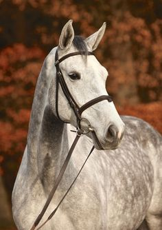 Cinzano, Gelding - German Horse Center