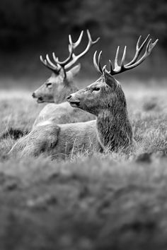 Two Red Stag