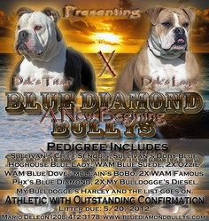 Olde English Bulldogges by Blue Diamond Bullys: Litter of 11 born May 19, 2012.  2 females, 1 male available.  Call #208-412-3178 or check out www.bluediamondbullys.com