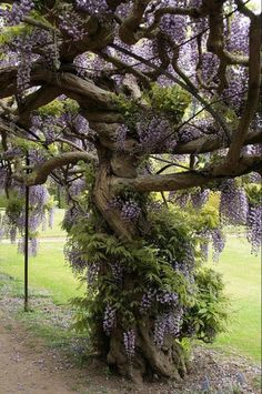 *want** Wisteria Tree. Just stake your Wisteria & keep it pruned back each year. The vine will eventually grow into a tree. I'd estimate this Wisteria tree to be over 20 years old. Wisteria Tree, Purple Wisteria, Wisteria Garden, Chinese Wisteria, Garden Plants, The Secret Garden, Unique Trees, Nature Tree, Flowers Nature