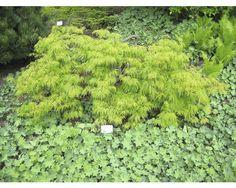 baldur garten japanischer ahorn 39 katsura 39 1 pflanze acer. Black Bedroom Furniture Sets. Home Design Ideas