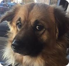 Baltimore, MD - Collie Mix. Meet Atwater, a dog for adoption. http://www.adoptapet.com/pet/14504068-baltimore-maryland-collie-mix
