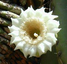 Arizona's state flower, Saguaro Cactus Blossom