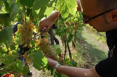 Joe harvesting beautiful organic #DOCG #Trebbiano grapes for #VinoSuperiore.