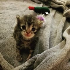 Little Kitty Found Under Jacuzzi Fought Hard To Live And Grew Into A Fluffy Gorgeous Sweety. A kitten was found underneath a jacuzzi, fighting to live. Baby Kittens, Cats And Kittens, Pretty Cats, Cute Cats, Funny Animals, Cute Animals, Baby Animals, Animal Rescue Center, Tiny Kitten
