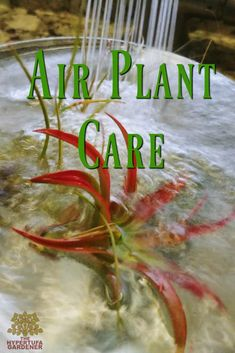 Enjoying Air Plants – Air Plant Care via @hypertufagarden