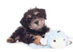 <3!  #Smeraglia #Teddybear #Schnoodles #Puppy ;learn more:  www.teddybearschnoodles.com