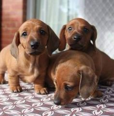A Dachshund A Day-Lets try once more for the camera. Dachshund Funny, Dachshund Puppies, Weenie Dogs, Dachshund Love, Cute Puppies, Cute Dogs, Dogs And Puppies, Daschund, Doggies