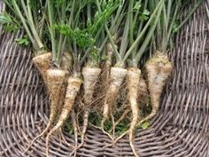 """Hamburg parsley (CherryGal) appears to be what Paul's grandmother grew and called """"parsley root."""" Not a parsnip, but parsley with an edible root. Excited to try it. Everlasting Sweet Pea, Early Girl Tomato, Sweet Pea Seeds, Tomato Seeds, Herb Seeds, Natural Health Remedies, Parsley, Plant Hanger, Health And Beauty"""