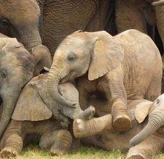 Baby Elephants, African Elephant herd, Camp Jabulani, Kapama Private Game Reserve, near Elephants Never Forget, Save The Elephants, Baby Elephants, Elephants Playing, Elephants Photos, Cute Baby Animals, Animals And Pets, Wild Animals, Nature Animals