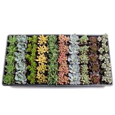 Assortment contains a mix of Soft Succulents. 5 each of 10 different varieties. It usually includes Echeveria, Crassula, Tender Sedum, and hybrids. Best Gifts For Her, Gifts For New Moms, Opuntia Cactus, Succulent Potting Mix, Succulent Names, Wholesale Succulents, Composition, 30th Birthday Gifts, Hens And Chicks