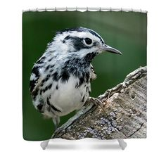 """Black And White Warbler Shower Curtain by Debra Martz.  This shower curtain is made from 100% polyester fabric and includes 12 holes at the top of the curtain for simple hanging.  The total dimensions of the shower curtain are 71""""x74"""" #BlackAndWhite #Warbler"""