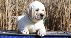 Labrador Life Span - How Long do Labradors Live?