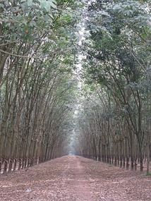 rubber tree plantation Natural Latex, Natural Rubber, Rubber Tree, 30 Degrees, Dipper, Free Travel, Pathways, Bonsai, Paisajes