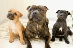 Uplifting So You Want A American Pit Bull Terrier Ideas. Fabulous So You Want A American Pit Bull Terrier Ideas. Pitbull Terrier, Terrier Dog Breeds, Bull Terriers, Staffordshire Terriers, American Staffordshire, Staffy Dog, Bully Dog, Beautiful Dogs, Cute Dogs