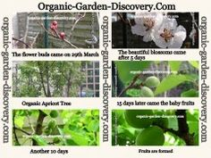 Free gardening magazine with progress on growing apricots tree from red blossoms spring budding to green apricots fruiting time
