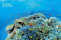 トロピカルフィッシュが舞い踊るサンゴ礁の海・・・ 透き通るような青い世界に癒される夏を満喫してください。 撮影者:北島清隆 Everything Is Blue, Coral Blue, Okinawa, Sea Creatures, Scuba Diving, Under The Sea, Beautiful Places, Ocean, Stars