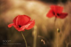 Poppies by Tracey1986. @go4fotos