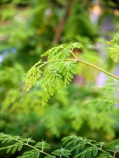 Moringa: Wie gesund ist der Wunderbaum?