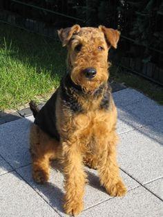 Airedale Charlie? I may show some favouritism towards Airedales no matter how cute the others are!