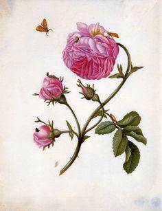 Merian-Maria-Sibylla-Roses-with-butterflies-Sun.jpg (1136×1480)