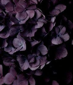 Hydrangea ~ Aubergine