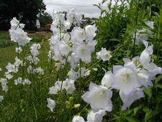 PERENNE 30-50 cm. dissecca in inverno. Campanula grandiflora - Platycodon grandiflorus FIORI estate bianchi blu