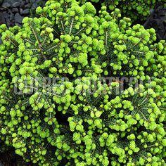 image de Picea abies Little Gem