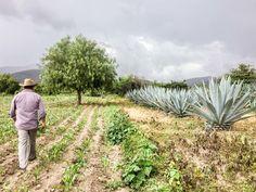 agave fields oaxaca