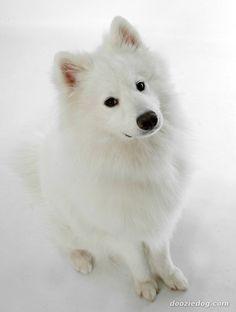 simoid dogs   Samoyed-5.jpg