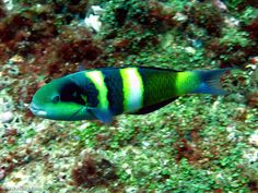 Jansen's Wrasse (Thalassoma janseni). Fish Rock Cave, South West Rocks, NSW