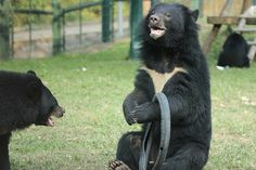 Bradley never tyres of a little play :P  Gorgeous moon bear Bradley couldn't be happier than when wrestling with a tyre. He can bite it, try to squeeze inside it, balance it on his feet and even wear it like a necklace.