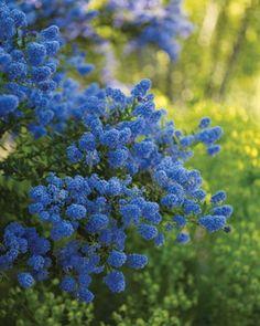Ceanothus 'Concha' blooms in this hilltop Sonoma County garden.