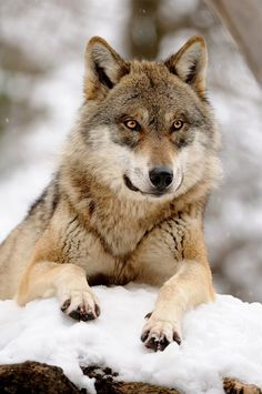 Beautiful Eyes About The Same Color As Mine At Time Wolf Photos Wolf