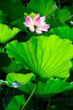 No religion buddhadasa bhikkhu flowers everywhere no religion buddhadasa bhikkhu flowers everywhere pinterest lotus lotus flower and flower mightylinksfo