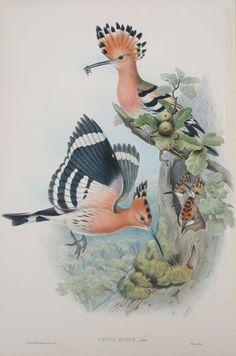 Upupa Epops, Linn. Hoopoe by John Gould, 1862.