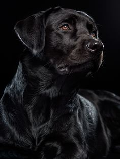 This is an amazing photo of a black Labrador with a black background