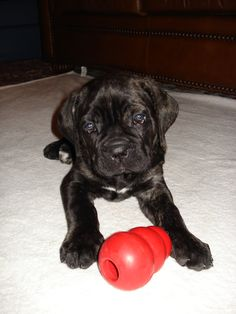 Our Cane Corso Tuscan when he was a puppy