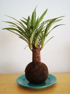 plantas para kokedama - Pesquisa Google