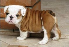 brown and white english bulldog puppy | Zoe Fans Blog