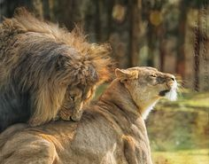 Just a little to the left dear. by Aya de Ruiter on Lion And Lioness, Lion Of Judah, Beautiful Cats, Animals Beautiful, Lion Tattoo With Crown, Lion Couple, Animals And Pets, Cute Animals, Lion Love