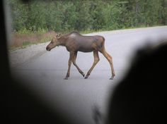 A baby moose follows his mother across a road  in Denali National Park