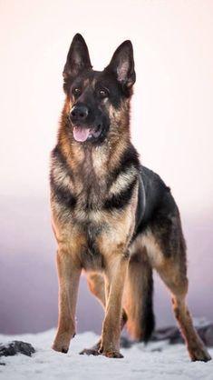 Beautiful.   Proud.  German Shepherd