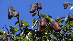 Jatobá O fruto, é quatro vezes mais rico em potássio do que a banana