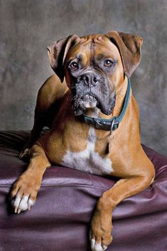 handsome boxer dog posing for the camera