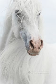 Pure beauty - Stunning Carthusian Stallion JOCOSO XXVIII from Yeguada de La Cartuja - the oldest Andalusian stud