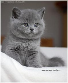 breeding station offers kittens of british shorthair cat small cuddly ...I want to get one of these for Taylor.