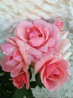 Astrid Lindgren-rose med morgendug